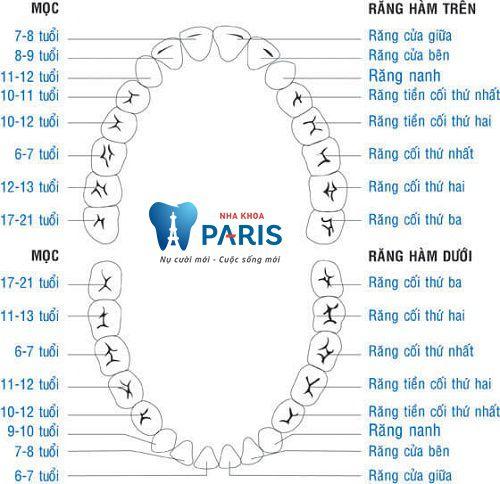 Răng cấm - Vị trí răng rất quan trọng trên cung hàm