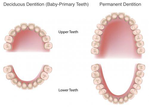 người có 26 cái răng