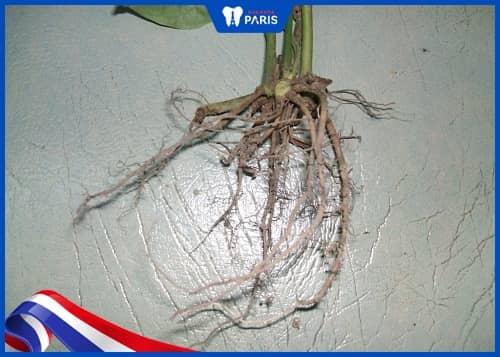 dùng rễ cây lá lốt trị sâu răng