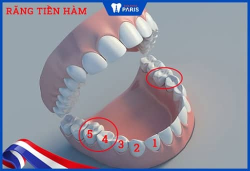 các loại răng của con người
