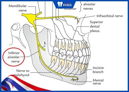 nhổ răng khôn ảnh hưởng dây thần kinh phế nang