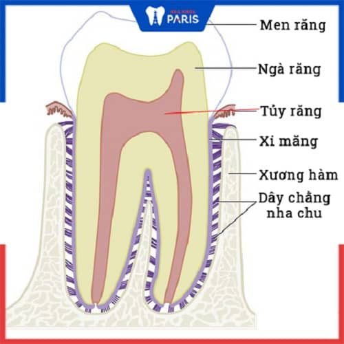 giải phẫu cấu tạo bên trong răng người