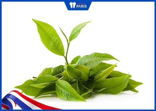 lá trà xanh chữa chảy máu chân răng sau sinh