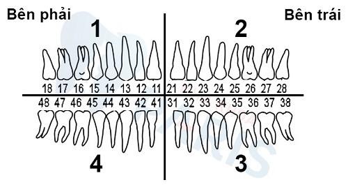 cách gọi tên răng vĩnh viễn