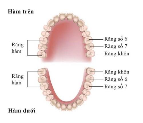 vị trí răng số 6 hàm trên