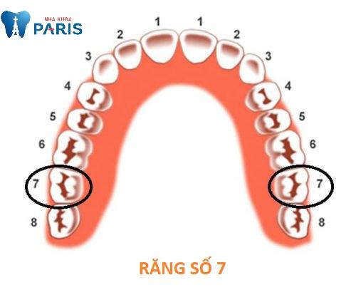 vị trí răng số 7 hàm trên